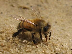 honeybee-drinking-from-sand-rb-winter-2007-012