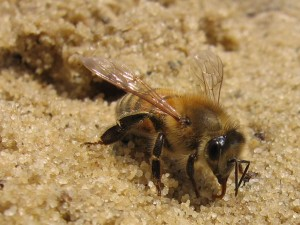 honeybee-drinking-from-sand-rb-winter-2007-022