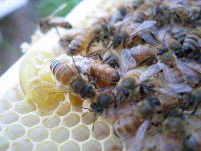 queen_honeybee_hatching_10241